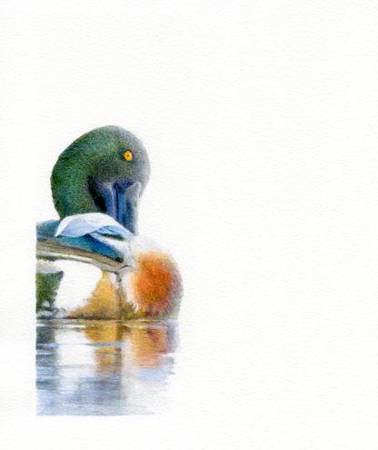 Fågelmålning akvarell skedand